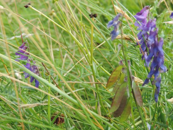 peasair nan luch - tufted vetch